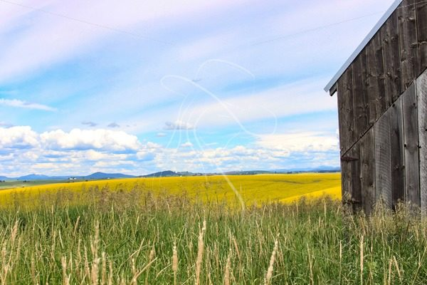 Corner of barn in hay field with canola and mountains in background - Cowgirl Media