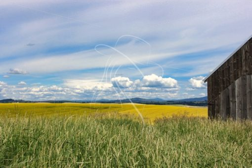 Edge of barn in hay field with canola and mountains in background - Cowgirl Media