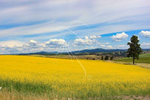 Idaho canola field vista - Cowgirl Media