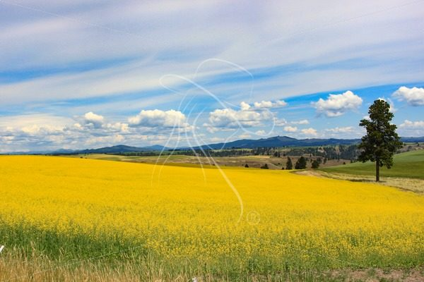 Idaho canola field vista - Cowgirl Media