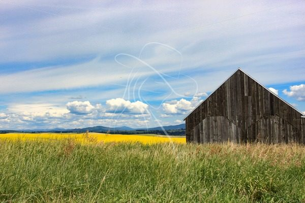 Rustic barn with canola field in background - Cowgirl Media