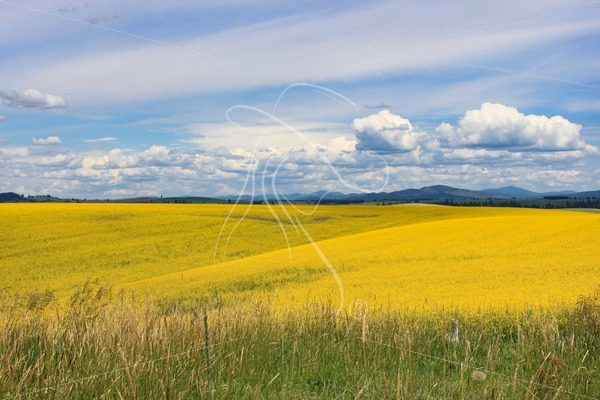 Scenic canola field in bloom - Cowgirl Media