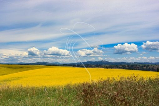 Scenic canola field in bloom on a cloudy day - Cowgirl Media