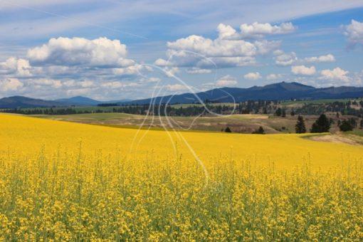 Scenic yellow canola field - Cowgirl Media