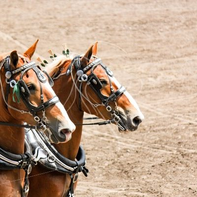 Team of Belgian draft horses - Cowgirl Media