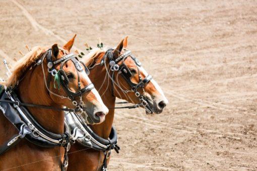 Team of Belgian draft horses - Cowgirl Media