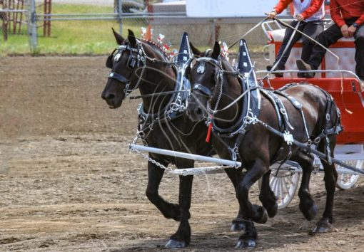 Team of Percheron Draft horses - Cowgirl Media