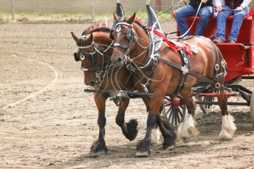 Team of Shire draft horses - Cowgirl Media