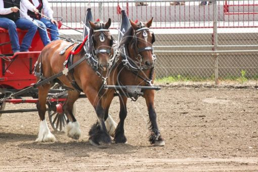 Team of Shire draft horses pulling wagon - Cowgirl Media