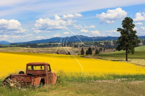 Vintage truck with scenic yellow canola field in bloom - Cowgirl Media