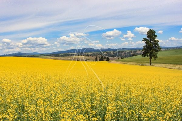 Yellow canola field with pine tree - Cowgirl Media